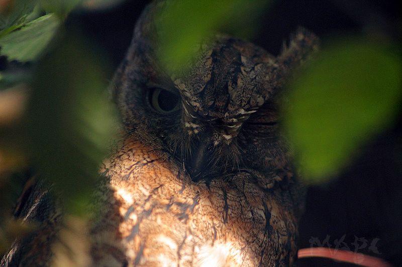 животные птицы сплюшка сова Сплюшкаphoto preview