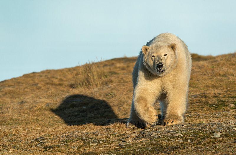 чукотка арктика море медведь белый полярный морской мыс кожевникова ....photo preview