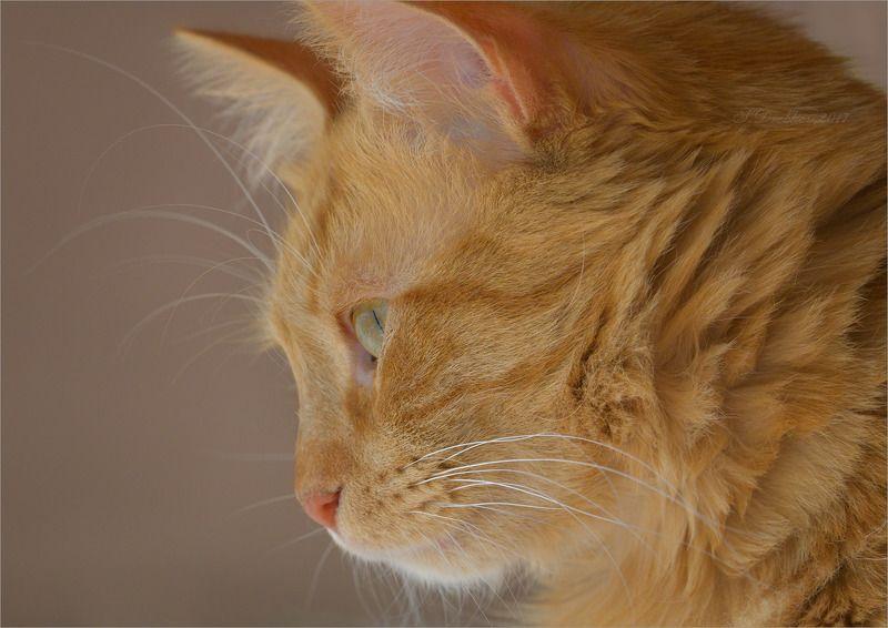 фауна, кошки, животные, апельсиновый Портрет в профильphoto preview