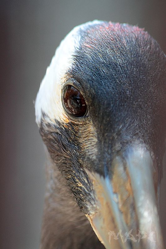 животные птицы журавль Глаз журавляphoto preview