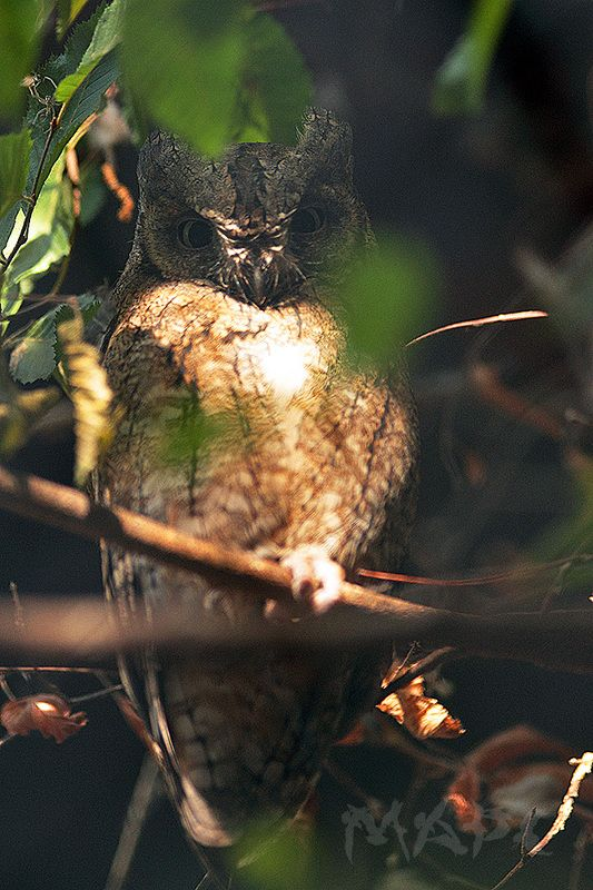 животные птицы сплюшка сова Сплюшка 2photo preview