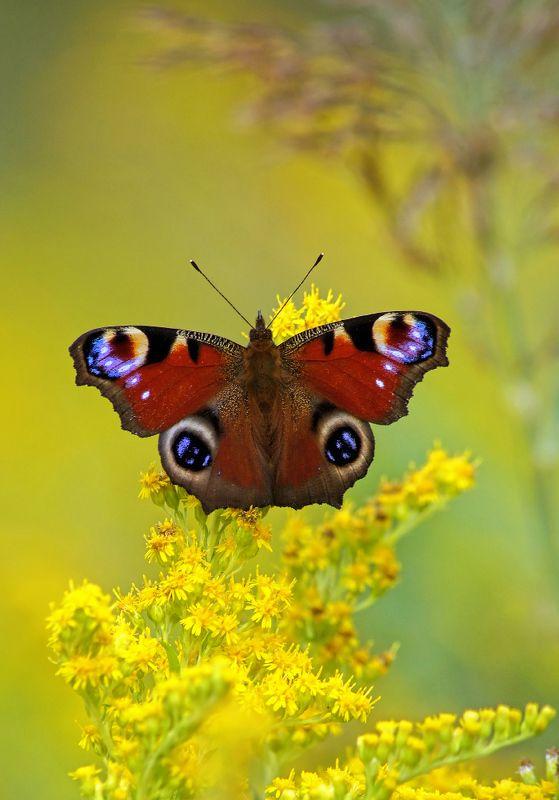 Бабочка Павлиний глазphoto preview
