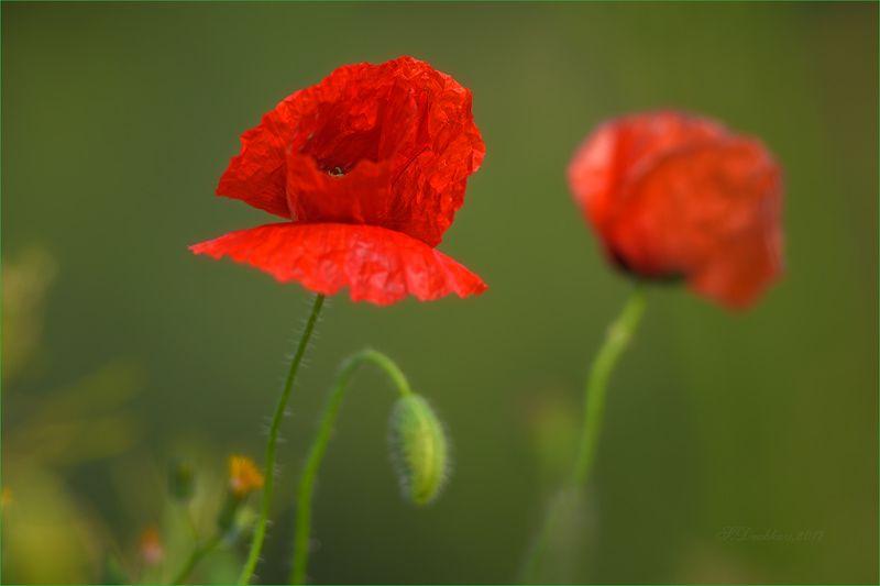 маки, флора, красный, зелёный, цветы Апрельские бабочкиphoto preview