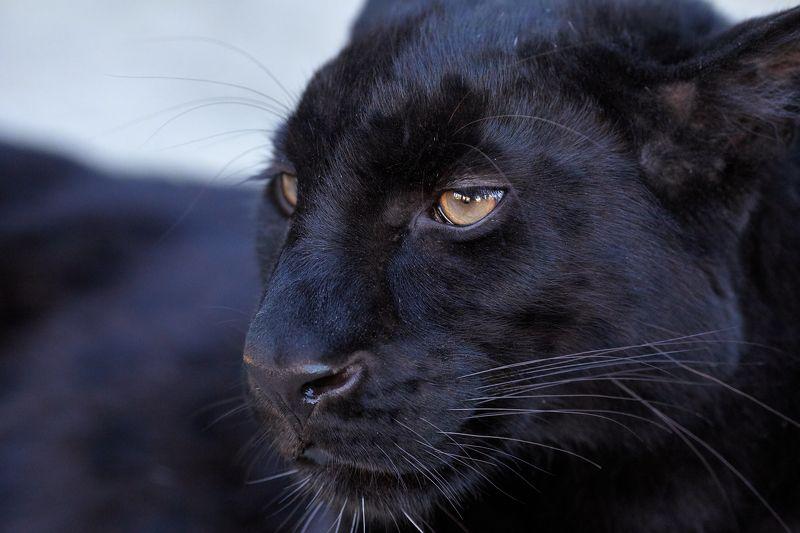 леопард Самка леопардаphoto preview