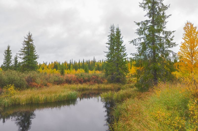 печора,коми,лес,осень,золотая,мобильное фото Северная осеньphoto preview