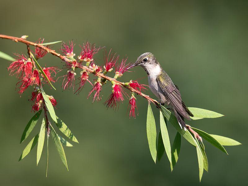 колибри, ruby-throated hummingbird, hummingbird Колибри возле цветущего каллистемона -Callistemon.Red Bottlebrushphoto preview