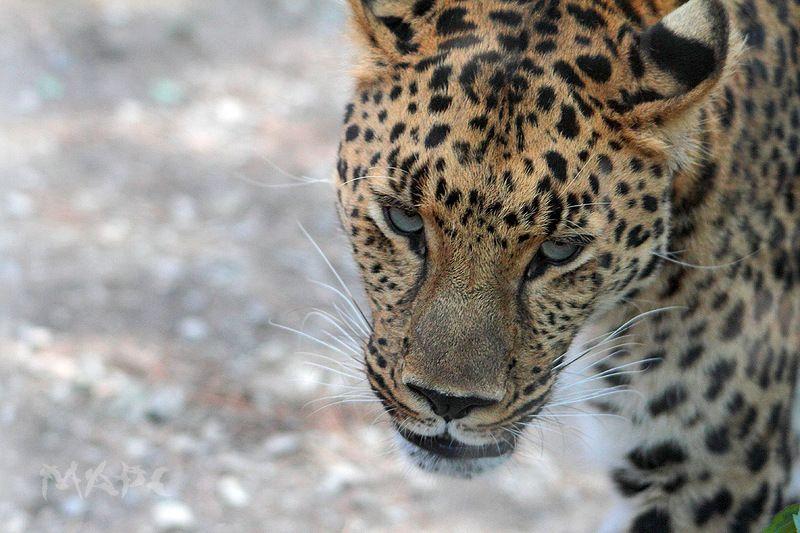 животные леопард хищник сафари парк Леопардphoto preview