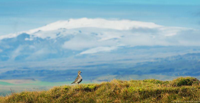 исландия, птицы, ржанка, животные, природа, вулкан, Eyjafjallajökull, iceland, bird, golden plover, Ржанка и вулкан Eyjafjallajökullphoto preview
