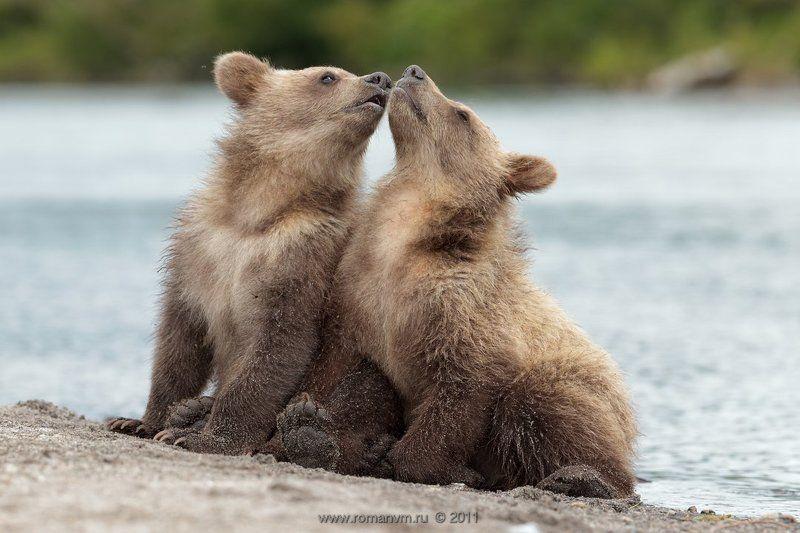 камчатка, медведь, озеро курильское Первый поцелуй.photo preview