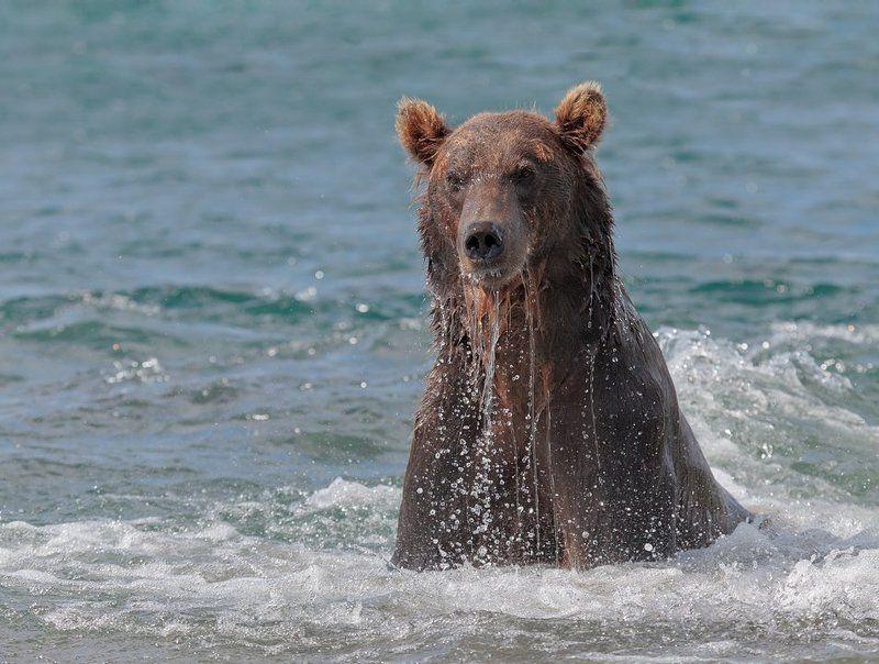 камчатка, медведь, озеро курильское Водолаз.photo preview