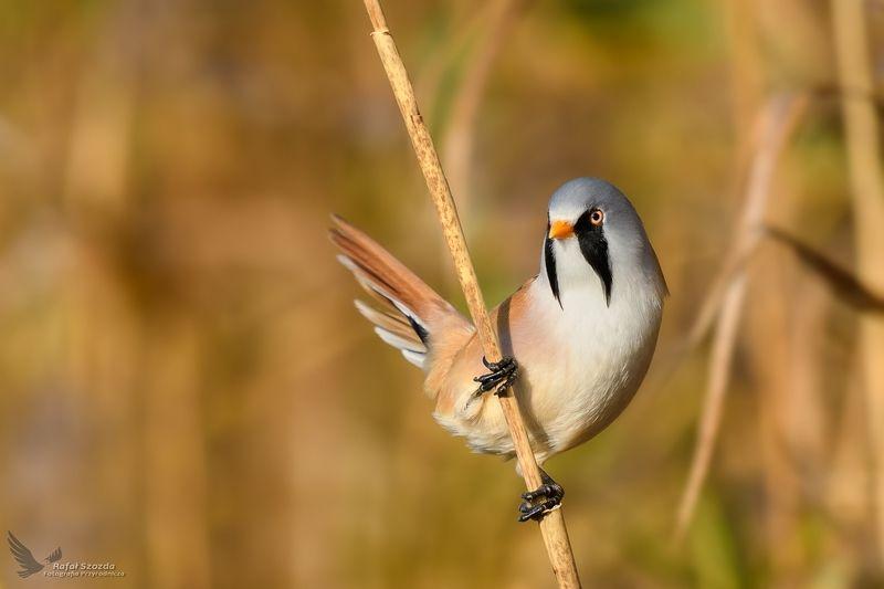 birds, nature, animals, wildlife, colors, cane, nikon, nikkor, lens, lubuskie, poland Wąsatka, Bearded Parrotbill (Panurus biarmicus) ...photo preview