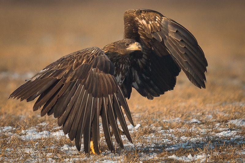 EAGLE,BIRDS,WILDLIFE photo preview