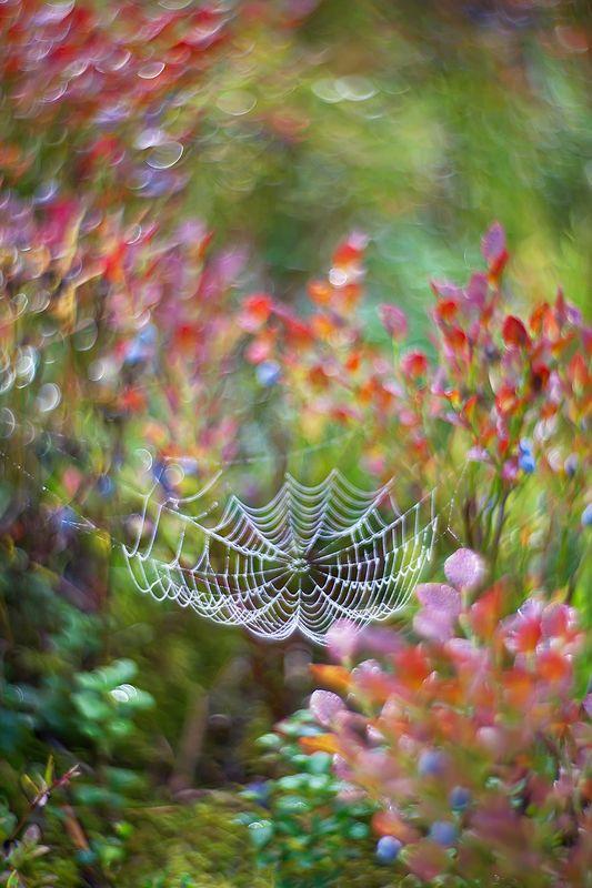 боке, природа, черника, паутина, лес, петцваль Черничные сныphoto preview
