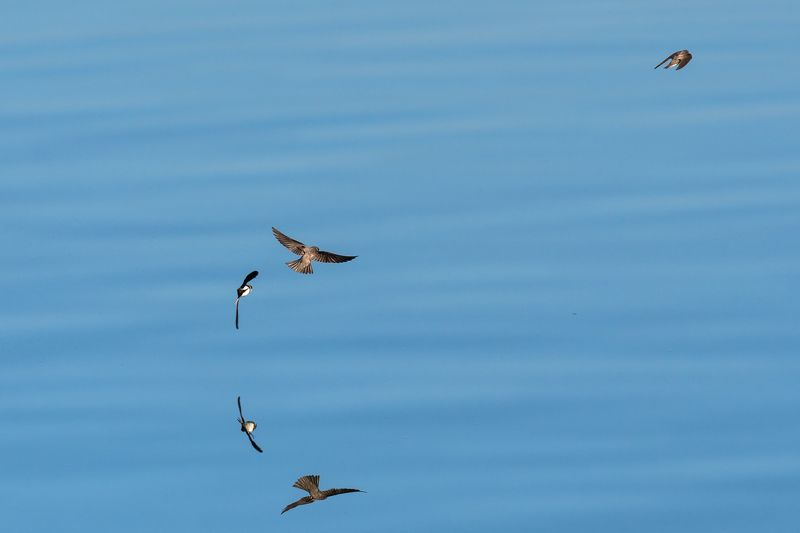 Береговые ласточки Зеркальный полёт.photo preview