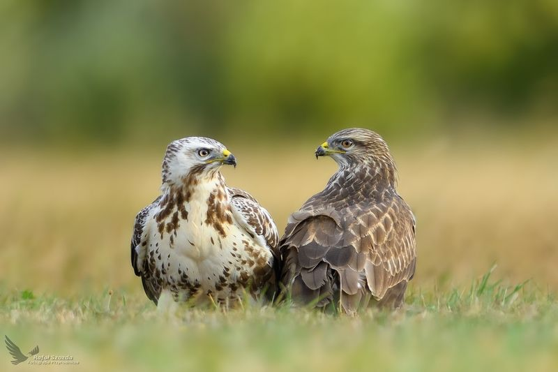 birds, nature, animals, wildlife, colors, meadow, wild, nikon, nikkor, lens, summer, lubuskie, poland Dwa oblicza - Two faces ... Myszołowy, Common Buzzard (Buteo buteo) ... 2018rphoto preview