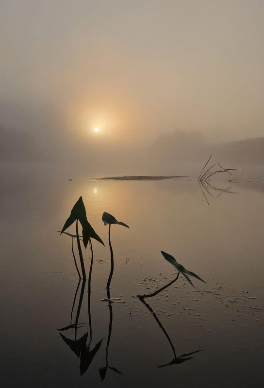 утро, рассвет, река, упа, якшино, природа, растение, стрелолист Стрелолист на рассветеphoto preview