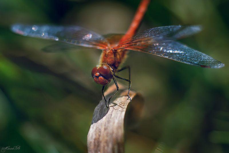лето, стрекоза, макро, трава, одкванчик Самая изящная из насекомыхphoto preview