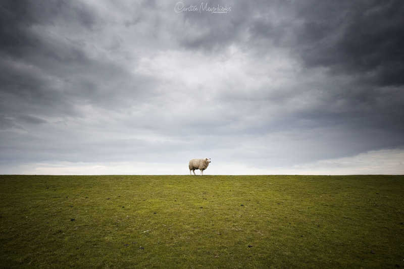 Lonely Sheepphoto preview