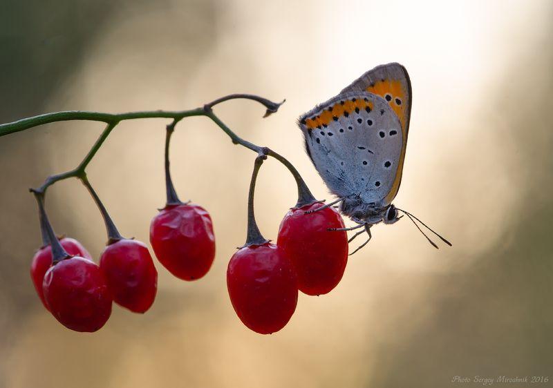 макро, бабочка, осень, сентябрь, красиво, растение, насекомое, вечер, украина Вечерняяphoto preview