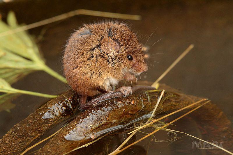 животные мышь грызун вода Шарикphoto preview