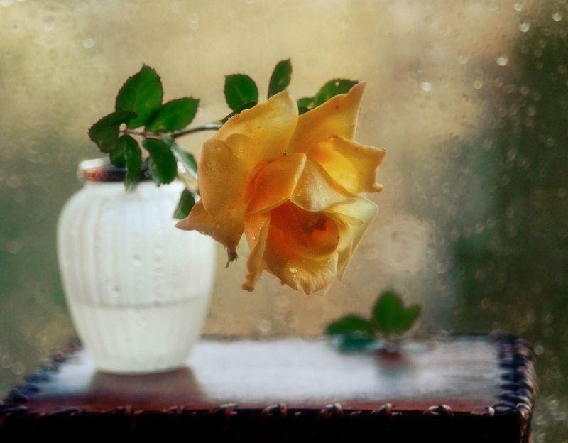 натюрморт,роза,цветы,осень,гелиос осеняя роза...photo preview