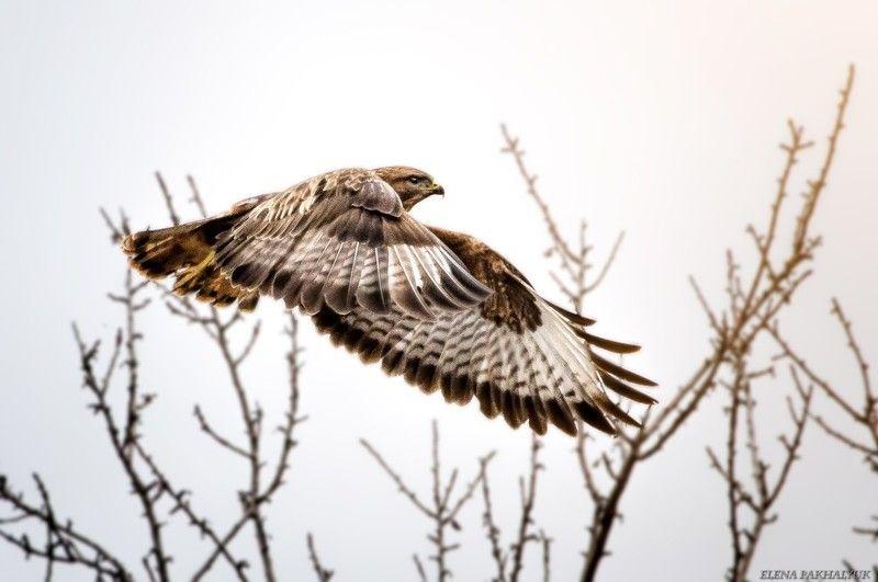 крым,животные,природа,птицы,сокол,орел,россия Охотникphoto preview