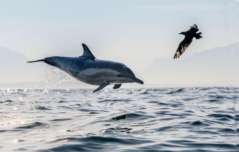 dolphin, skua Дельфин и поморникphoto preview
