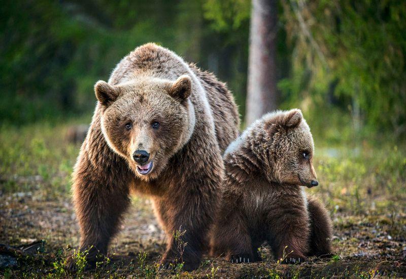 brown bear photo preview