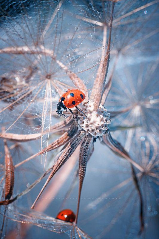 ladybird, synapses, ladybird, insect, dranikowski, m42, macro, biedronka, dandelion, a7riii, neurone ladybird on dandelionphoto preview