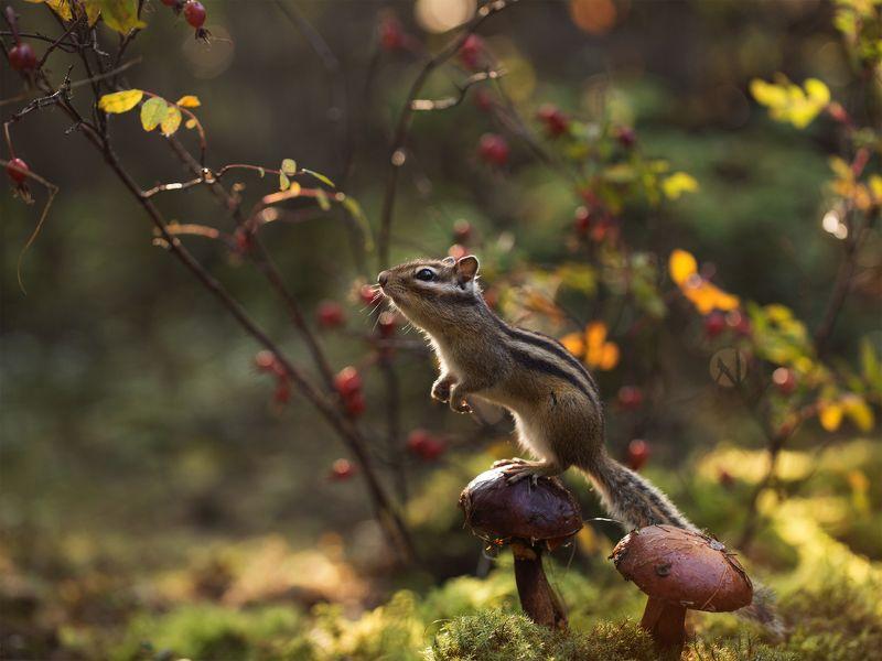 нерюнгри, бурундук, якутия, грибы Грибная лесенкаphoto preview
