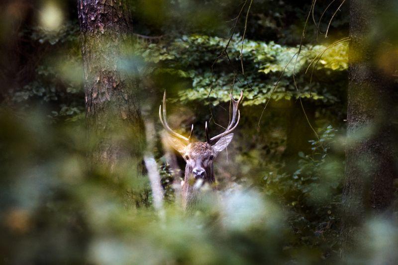 wildlife, deer, male, buck, forest Commandophoto preview