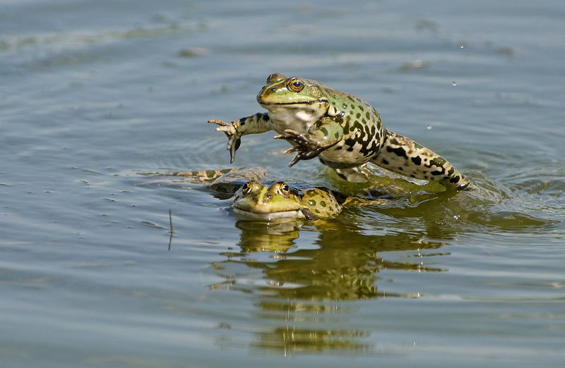 чехарда, лягушки, амфибии, земноводные Чехардаphoto preview