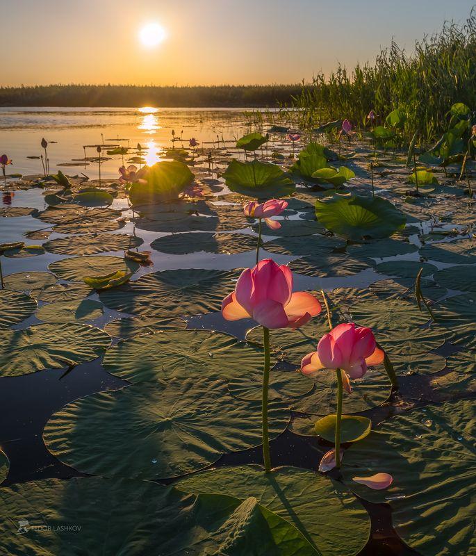 pentax645z, pentaxrussia, pentax, астраханская область, волга, дельта, астраханский государственный биосферный заповедник, лотос, цветы, лето, рассвет, заря, река, вода, Под охраной заповедникаphoto preview
