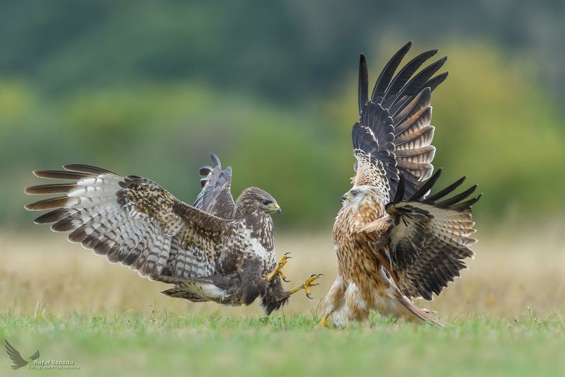 common buzzard, red kite, birds, nature, animals, wildlife, colors, meadow, autumn, fight, nikon, nikkor, lens, lubuskie, poland Kania Ruda, Red Kite (Milvus milvus) vs Myszołów, Common Buzzard (Buteo buteo) ... 2018rphoto preview