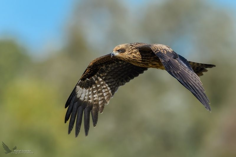 black kite, birds, nature, animals, wildlife, colors, autumn, meadow, flight, brown, nikon, nikkor, lens, lubuskie, poland Kania Czarna, Black Kite (Milvus migrans) ... 2018rphoto preview