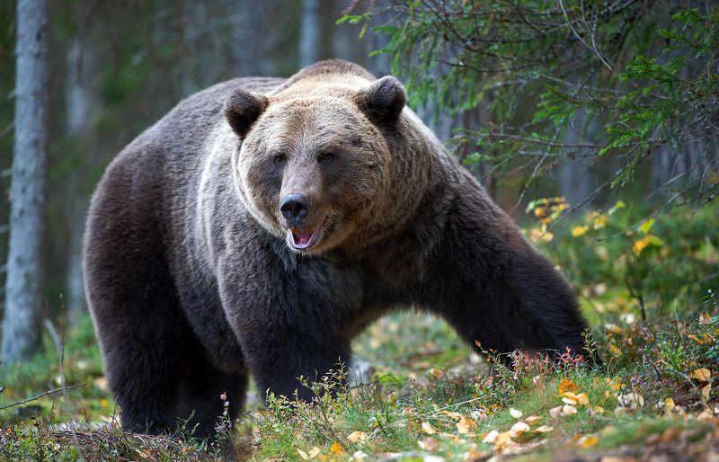 brown bear, jogi Медведь по имени Йоги.photo preview