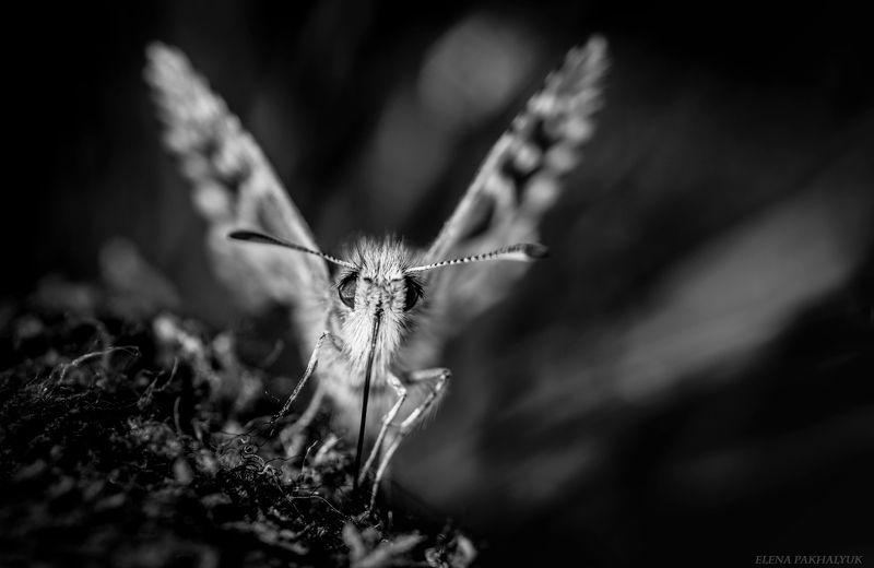 макро,мотылек,бабочка,насекомые,чернобелый, россия,крым,черный, белый,портрет Мотылекphoto preview