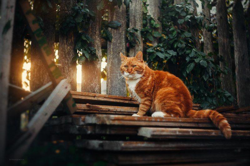 кот, рыжийкот, животные, природа, гелиос Филимонphoto preview