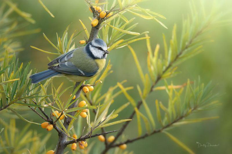 природа, лес, животные, птицы Облепиха поспелаphoto preview