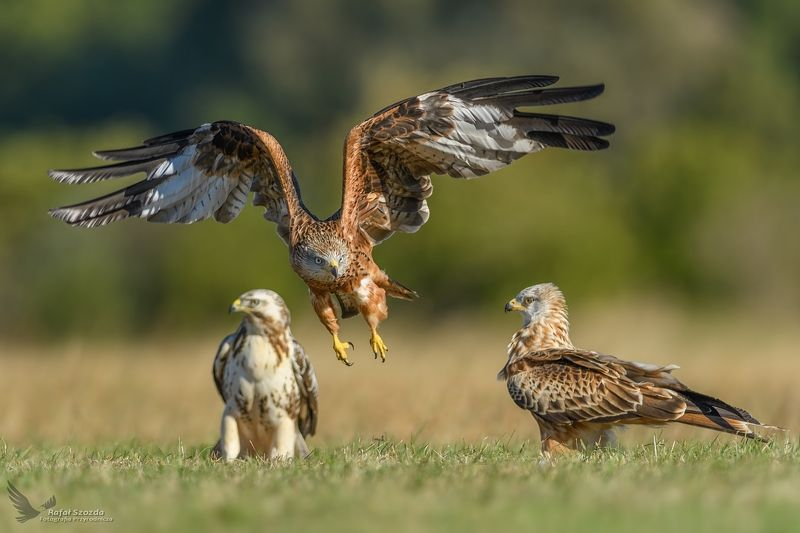 red kite, common buzzard, birds, nature, animals, wildlife, colors, meadow, autumn, nikon, nikkor, lens, fight, flight, lubuskie, poland Kania Ruda, Red Kite (Milvus milvus) ... 2018rphoto preview