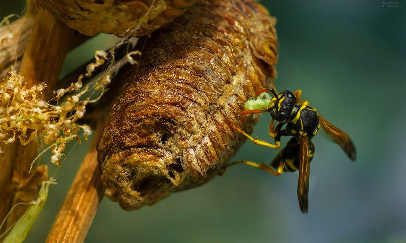макро, природа, насекомые, богомолы, оса, macro, nature, insects, praying mantis, wasp, Жестокий новый мирphoto preview