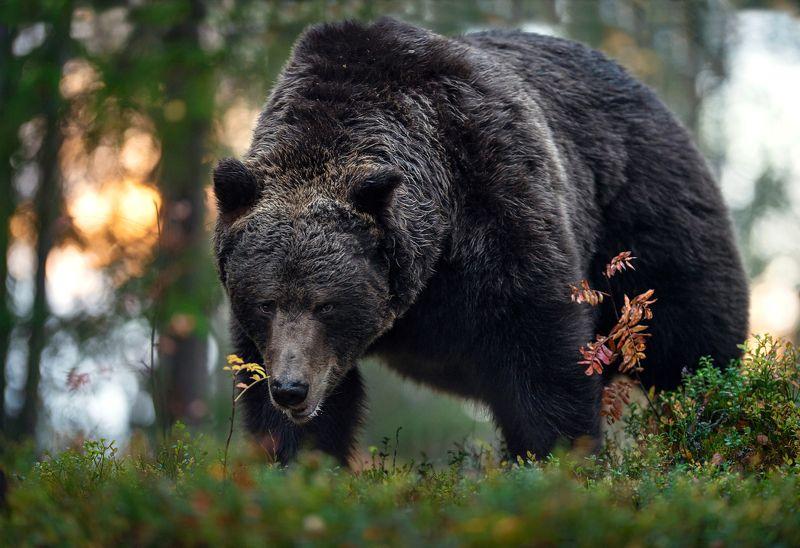 brown bear, Скоро в спячку.photo preview