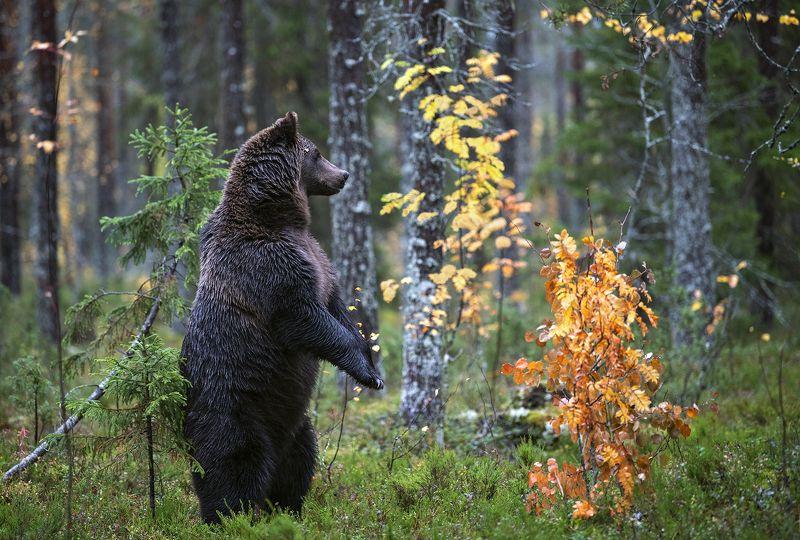 медведь photo preview