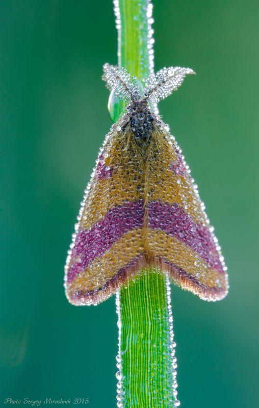 макро, бабочка, роса, лето, июнь, красиво, растение, насекомое, утро, украина В росе как в бриллиантахphoto preview