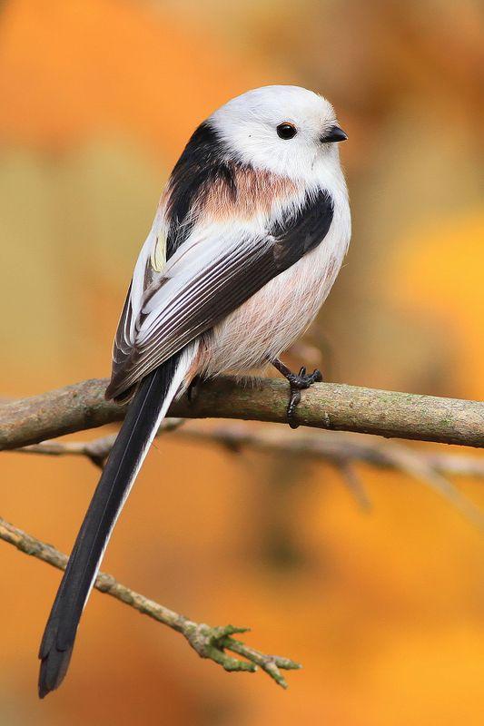 bird,wildlife,nature,forest,morning,color,beautiful,scene,songbird,birds,wild,beauty,autumn,sunlight Long-tailed titphoto preview