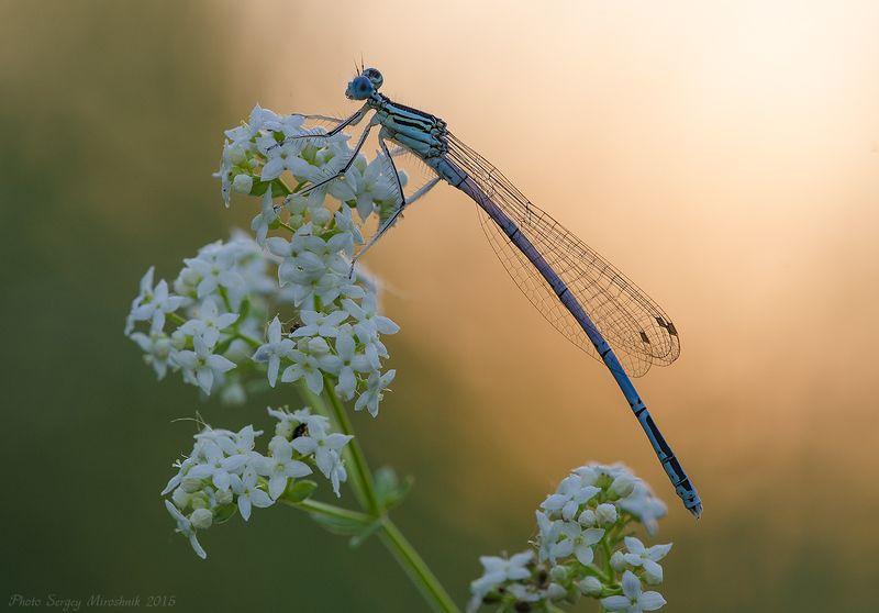 макро, стрекоза, стрелка, лето, июнь, красиво, цветы, насекомое, вечер, закат, украина Стрелка голубая.photo preview