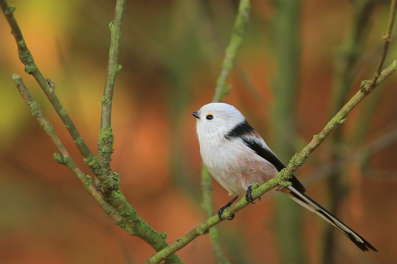 bird,autumn,color,trees,colorful,branch,birds,animal Long-tailed titphoto preview
