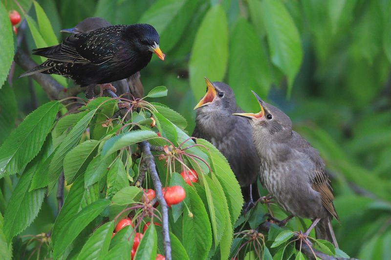 bird,wildlife,nature,dinner,tree,color,funny,scene,starling,birds,wild,beauty,green,cherry,eating,summer,garden Dinnerphoto preview