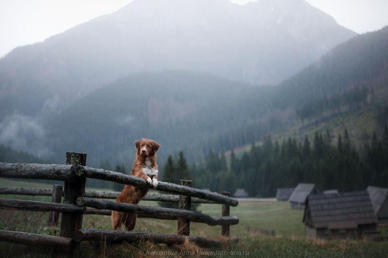 собака, природа, Польша, горы в долине Хохоловска photo preview