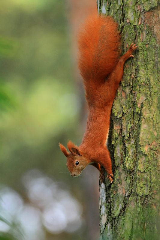 squirrel,wildlife,nature,tree,green,color,beautiful,scene,woods,scenery,autumn,pine,wild,beauty,forest,mammal,red Red Squirrelphoto preview